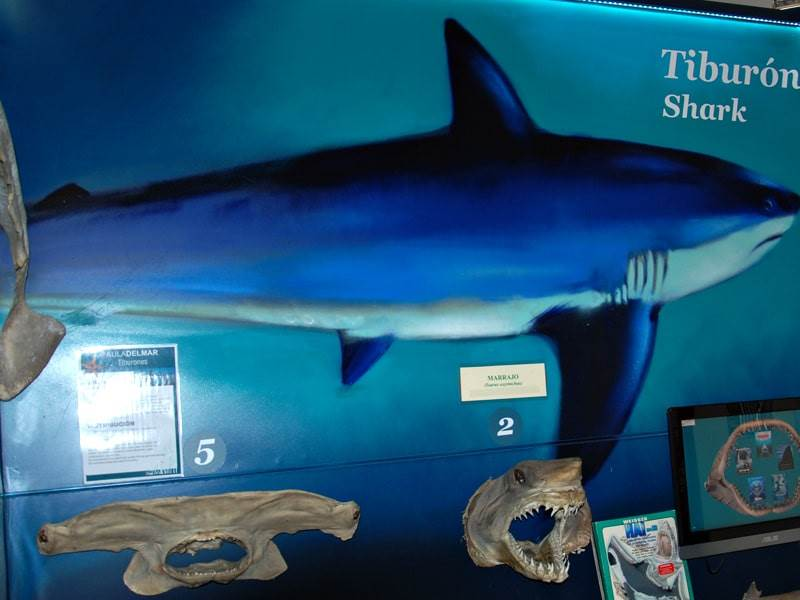 Sharks at the Museo de Alborania