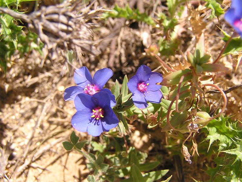 Blue Pimpernel