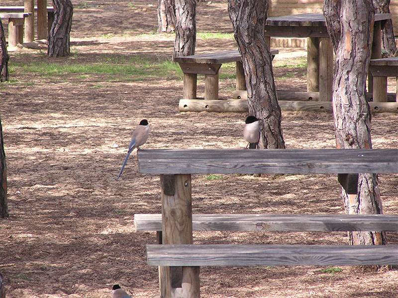 Azure winged magpies Acebuche