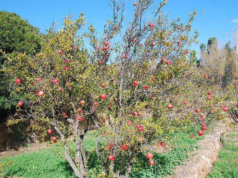 Ornamental Pomegranate  at El Albardinal