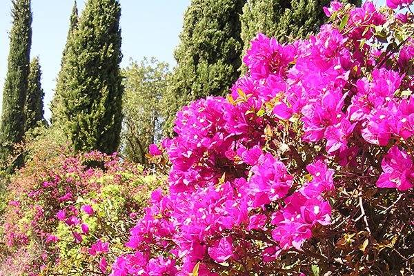 Bougainvilla at La Concepcion Botanical Gardens