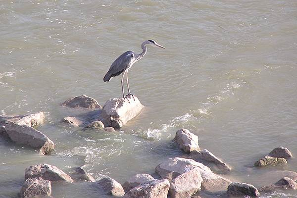 A heron on the Rio Guadalquivir at Cordoba