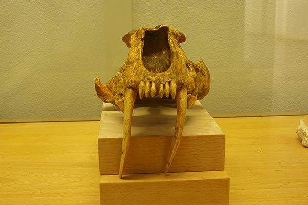 Sabre Toothed Cat, Orce