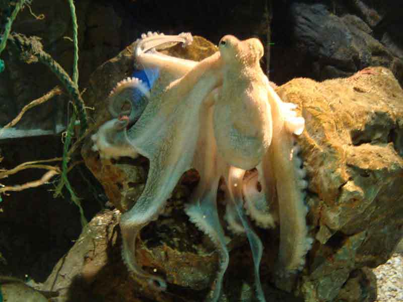 Octopus, Benalmadena Sealife