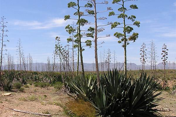 Agave in the Cabo de Gata